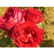 Meilland® Rosa Red Eden Rose® Eric Tabarly
