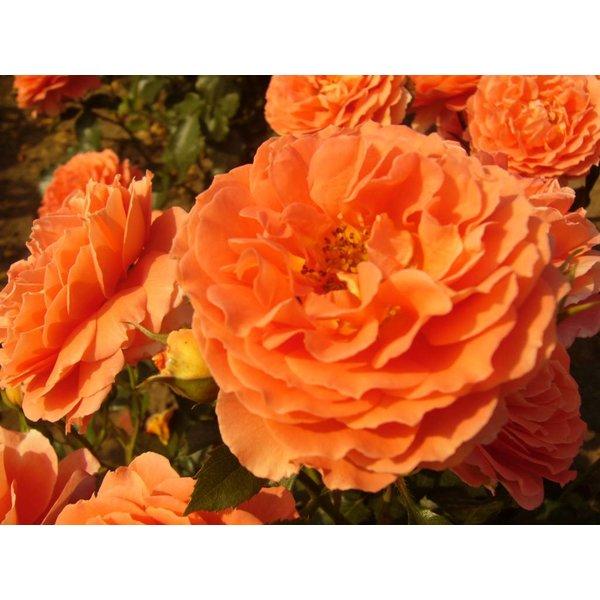 Meilland® Stamroos Orange Meilove - Stamhoogte 60cm en 90cm