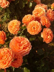 Meilland® Rosa Orange Meilove - Stammhöhe 60cm und 90cm