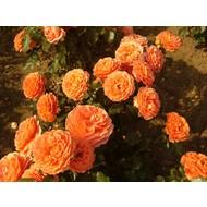 Meilland® Rosa Orange Meilove® - Stammhöhe 60 cm