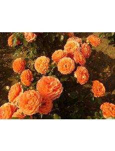 Meilland® Stamroos Orange Meilove - Stamhoogte 60 cm en 90cm