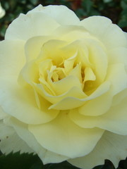 Meilland® Rosa White Meilove® (Lemon Romantica)