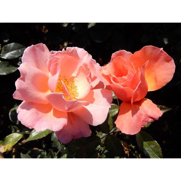 Rosa Fragrant Delight