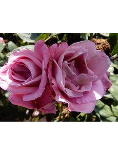Rosa Lila Wunder