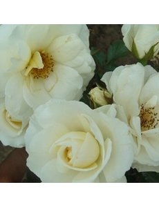 Rosa Kristal