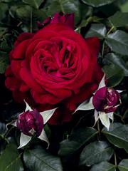 Tantau® Rosa Admiral®