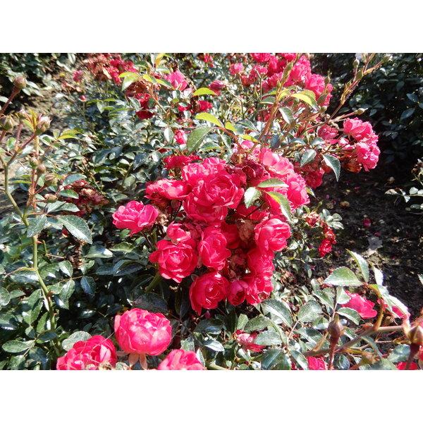 Rosa  Fairy Queen