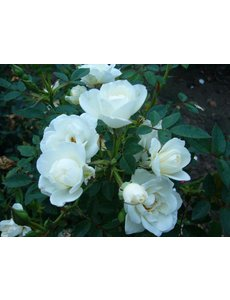 Rosa  White Fairy
