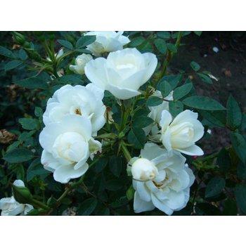 Rosa  CRYSTAL FAIRY®