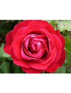 Meilland® Rosa Rouge Meilove®