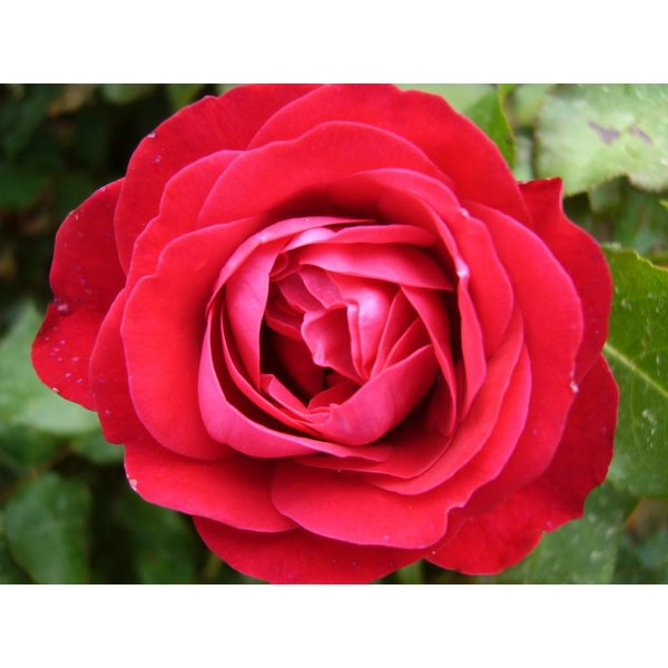 Meilland® Rosa Rouge Meilove® (Mona Lisa)