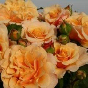 Kordes® Rosa Caramella®