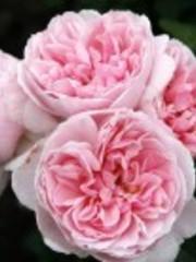 Kordes® Rosa Cinderella®