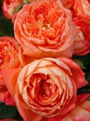 Kordes® Rosa Queen of Hearts®
