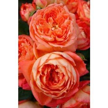 Kordes® Rosa Queen of Hearts®