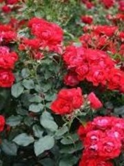 Kordes® Rosa Black Forest Rose®