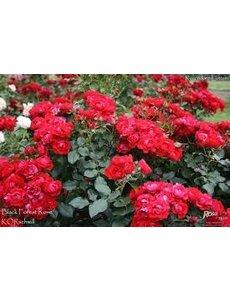 Kordes® Rosa Black Forest Rose®