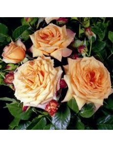 Tantau® Rosa Barock®