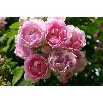 Kordes® Rosa Jasmina®