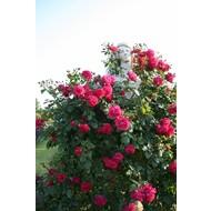 Kordes® Rosa Laguna®