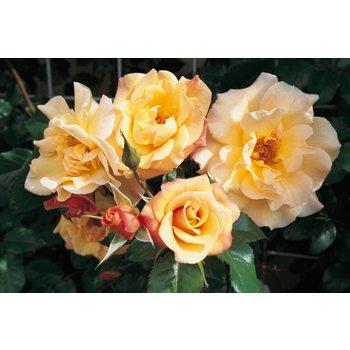 Kordes® Rosa Moonlight®