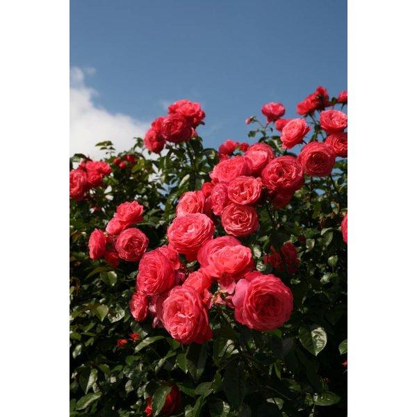 Kordes® Rosa Rosanna®