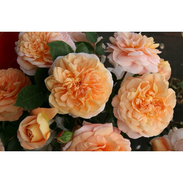 Kordes® Rosa Sangerhäuser Jubiläumsrose®