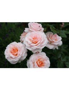 Kordes® Rosa Schloss Eutin®