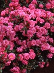 Kordes® Rosa Bad Birnbach®