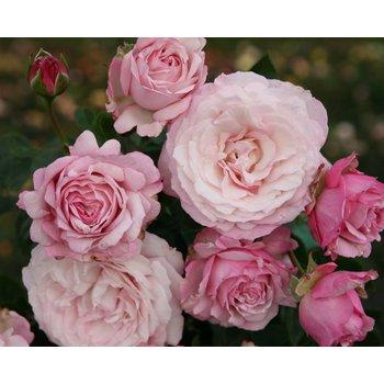 Kordes® Rosa Rosenfaszination®
