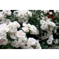 Tantau® Rosa Aspirin Rose®