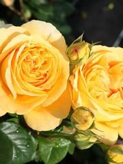 Tantau® Rosa Candlelight®