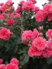 Kordes® Klimroos Rosarium Uetersen®