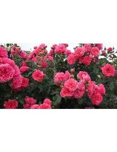 Kordes® Rosa Rosarium Uetersen®