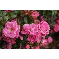 Kordes® Rosa Palmgarten Frankfurt
