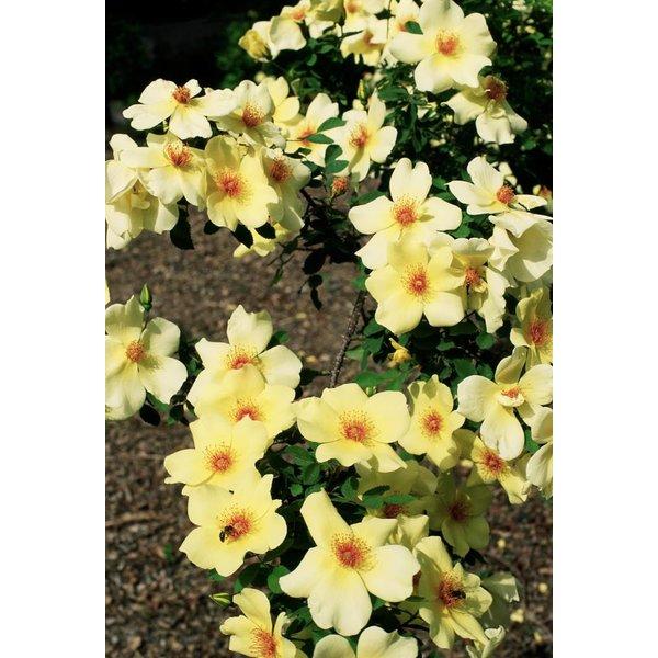 Rosa Frühlings Gold