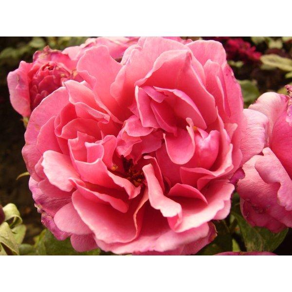 Meilland® Rosa Line Renaud® (Elbflorenz)