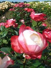 Tantau® Rosa Nostalgie® - Stammhöhe 70cm und 90cm