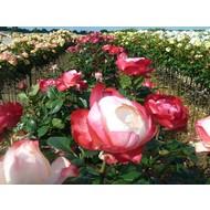 Rosa Nostalgie® - Stammhöhe 60 -70cm