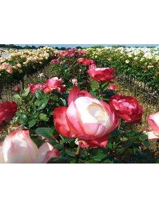 Tantau® Rosa Nostalgie® - Stammhöhe 60cm und 70cm