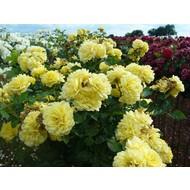 Meilland® Stamroos Yellow Meilove® - Stamhoogte 60 cm