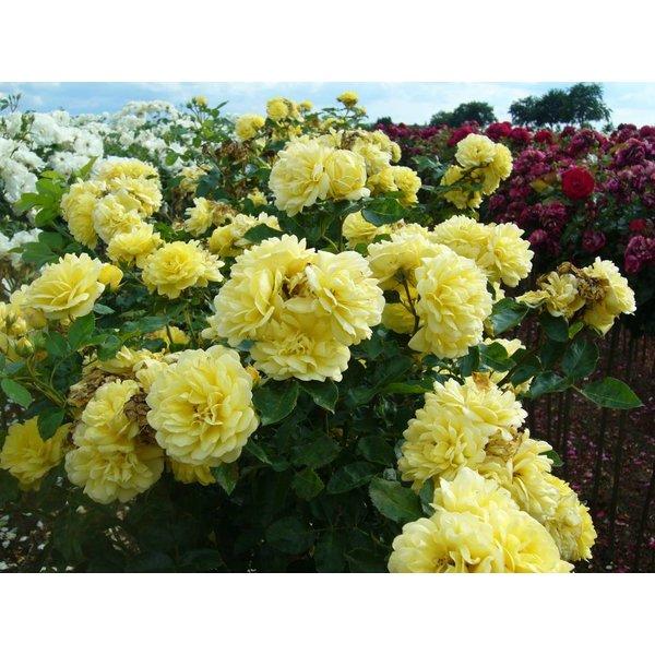Meilland® Stamroos Yellow Meilove - Stamhoogte  60cm en 90cm