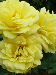 Meilland® Rosa Yellow Meilove®