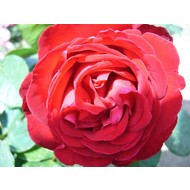 Meilland® Rosa Traviata®
