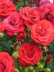 Rosa Stromboli