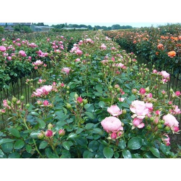 Meilland® Rosa Rose Meilove (Sunblaze) - Stammhöhe 60cm und 90cm