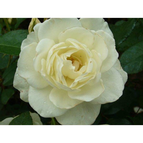 Kordes® Rosa Schneewittchen®
