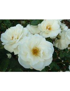 Rosa Korbin - Stammhöhe 60cm und 90cm