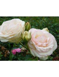 Meilland® Rosa Palais Royal® (White Eden Rose)