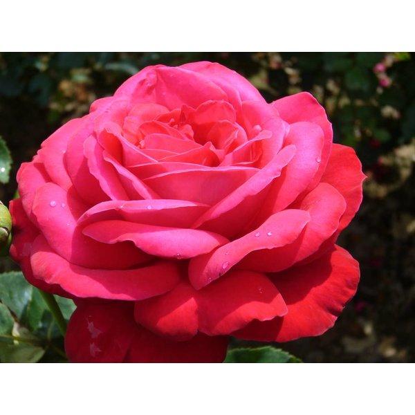 Rosa Dame de Coeur